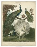 Peacock Gathering Fine Art Print