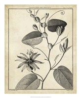 Passiflora VI Fine Art Print