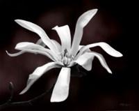Magnolia Dreams I Fine Art Print