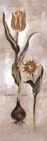 Tulipa Violoncello VI Fine Art Print