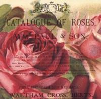 Roses IV Fine Art Print