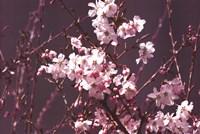 Spring Blossom - Purple Fine Art Print