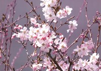 Spring Blossom - Pink Fine Art Print