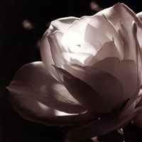 White Rose II Fine Art Print