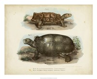 Antique Turtle Pair I Framed Print