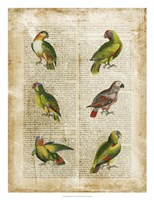 Antiquarian Parrots II Framed Print