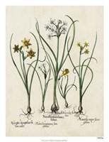 Besler Narcissus II Fine Art Print