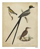 Bonapart Birds III Fine Art Print