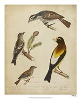 Bonapart Birds IV Fine Art Print