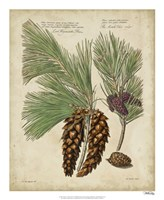 Antique Conifers II Fine Art Print