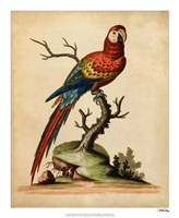 Edwards Parrots I Fine Art Print