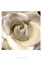 Blushing Rose I Fine Art Print