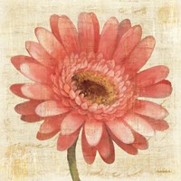 Blushing Gerbera on Cream Fine Art Print
