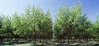 USA, New Mexico, Tularosa, pecan trees Fine Art Print