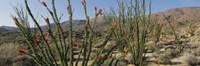 Ocotillo Anza Borrego Desert State Park CA Fine Art Print