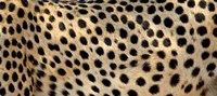 Close-up of the spots on a cheetah Fine Art Print