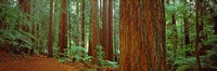 Redwoods tree in a forest, Whakarewarewa Forest, Rotorua, North Island, New Zealand Fine Art Print