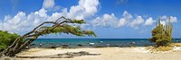Divi divi tree (Caesalpinia Coriaria) at the coast, Aruba Fine Art Print