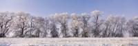 Cottonwood trees covered with snow, Lower Klamath Lake, Siskiyou County, California, USA Fine Art Print