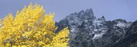 Aspen tree with mountains in background, Mt Teewinot, Grand Teton National Park, Wyoming, USA Fine Art Print