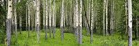 Aspen trees in a forest, Banff, Banff National Park, Alberta, Canada Framed Print