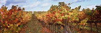 Autumn in a vineyard, Napa Valley, California, USA Fine Art Print
