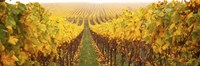 Vine crop in a vineyard, Riquewihr, Alsace, France Fine Art Print