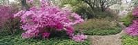 Azalea flowers in a garden, Garden of Eden, Ladew Topiary Gardens, Monkton, Baltimore County, Maryland, USA Fine Art Print