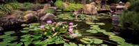 Lotus blossoms, Japanese Garden, University of California, Los Angeles, California Fine Art Print