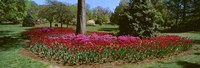 Azalea and Tulip Flowers in a park, Sherwood Gardens, Baltimore, Maryland, USA Fine Art Print