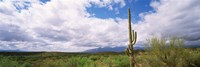 Cactus in a desert, Saguaro National Monument, Tucson, Arizona, USA Fine Art Print