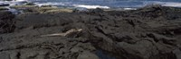 Marine iguana (Amblyrhynchus cristatus) on volcanic rock, Isabela Island, Galapagos Islands, Ecuador Fine Art Print
