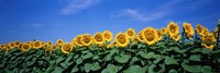Field Of Sunflowers, Bogue, Kansas, USA Fine Art Print