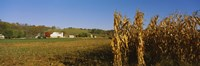 Corn in a field after harvest, along SR19, Ohio, USA Fine Art Print