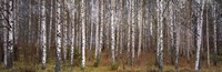 Silver birch trees in a forest, Narke, Sweden Fine Art Print