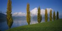 Row of poplar trees along a lake, Lake Zug, Switzerland Fine Art Print