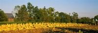 Tractor in a tobacco field, Winchester, Kentucky, USA Fine Art Print