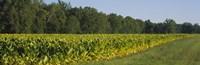Crop of tobacco in a field, Winchester, Kentucky, USA Fine Art Print