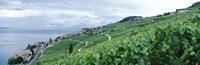 Vineyard on a hillside in front of a lake, Lake Geneva, Rivaz, Vaud, Switzerland Fine Art Print