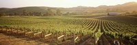 Panoramic view of vineyards, Carneros District, Napa Valley, California, USA Fine Art Print