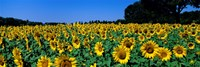 Sunflowers In A Field, Provence, France Fine Art Print