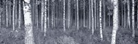 Birch Trees In A Forest, Finland Fine Art Print