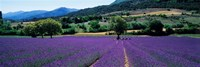 Lavender Field, Provence, France Framed Print