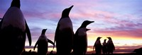 Silhouette of a group of Gentoo penguins, Falkland Islands (Pygoscelis papua) Fine Art Print