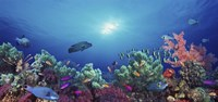 School of fish swimming near a reef, Indo-Pacific Ocean Fine Art Print