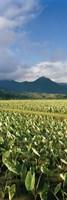 Taro crop in a field, Hanalei Valley, Kauai, Hawaii, USA Fine Art Print