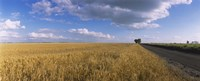 Wheat crop in a field, North Dakota, USA Fine Art Print