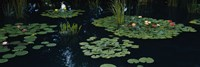 Water lilies in a pond, Denver Botanic Gardens, Denver, Colorado, USA Fine Art Print
