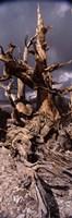 Bristlecone pine tree (Pinus longaeva) under cloudy sky, Inyo County, California, USA Fine Art Print
