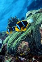 Allard's anemonefish (Amphiprion allardi) in the ocean Fine Art Print